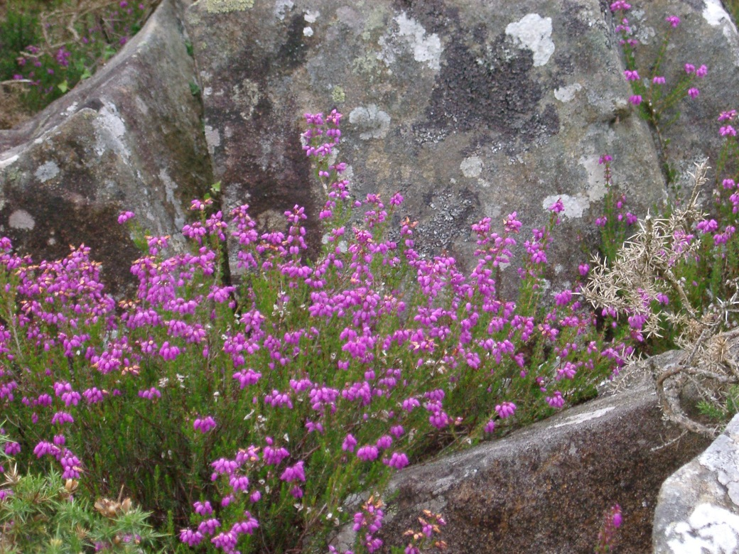 Colorful purple summer heather